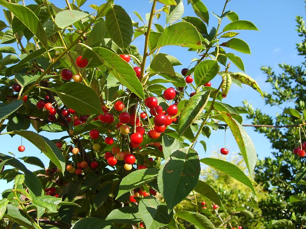 Morello Cherries by GardeningArcher