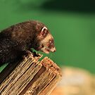 Polecat  by miradorpictures
