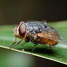Blowfly by Andrew Trevor-Jones