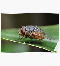 Blowfly Poster