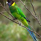Australian Ringneck Parrot by John Sharp