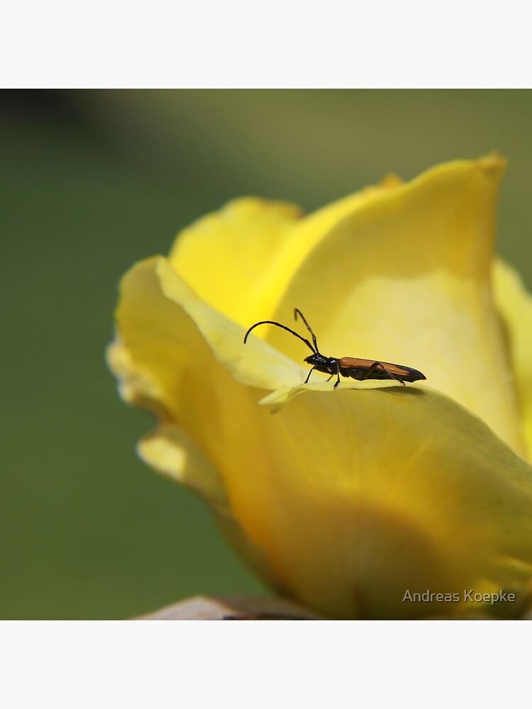 Milkweed bug on yellow rose by mistered