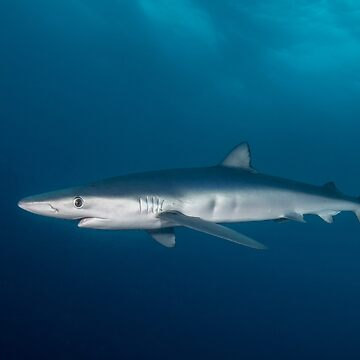 Blue Shark, South Africa by eschlogl