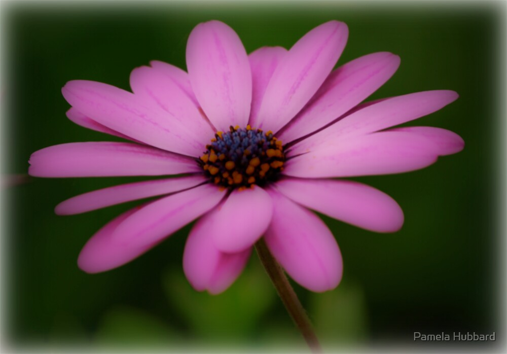 Dreaming Pink Daisies by Pamela Hubbard