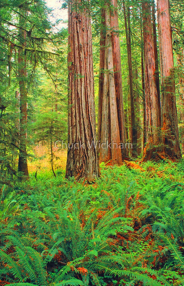 FERNS AND REDWOODS, REDWOOD NP by Chuck Wickham