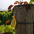 Chardonnay  by Andreas Koepke