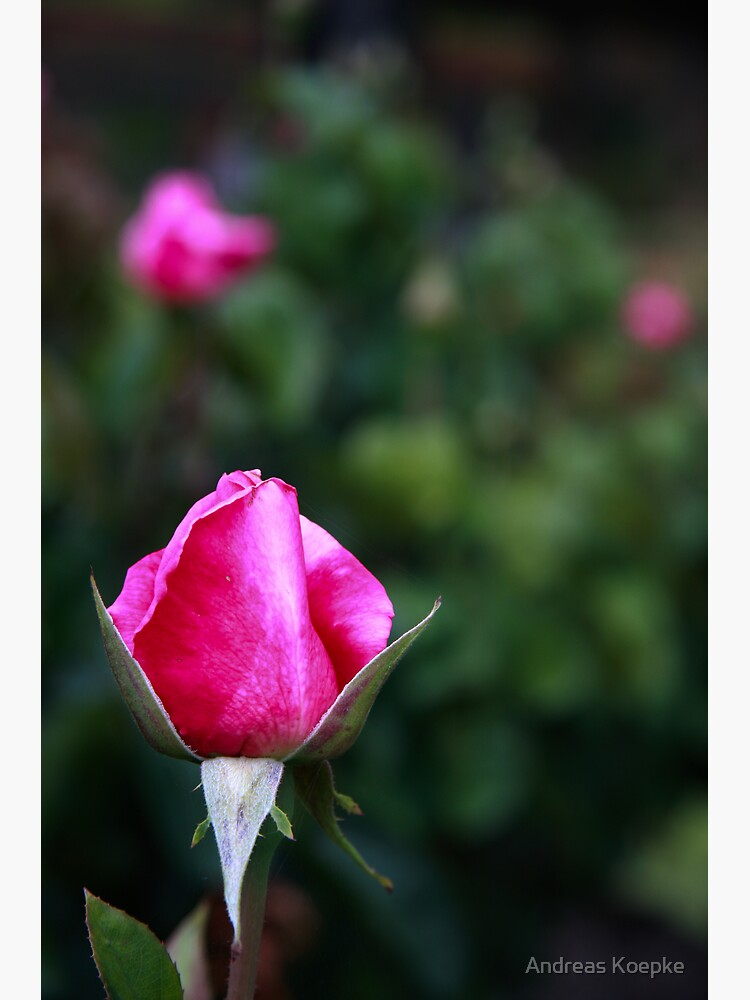 Pink rose by mistered