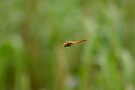 Dragon Fly coming in.  by Normf