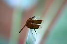 Dragonfly resting on a Heliconia species by Normf