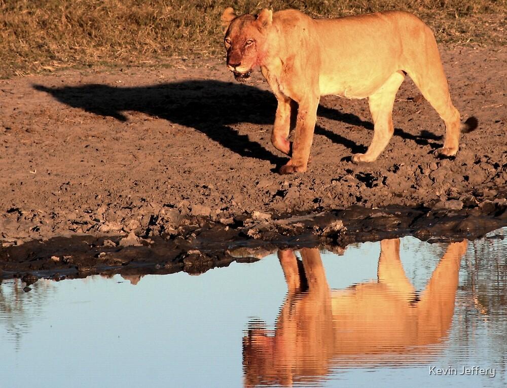 Lioness Reflection by Kevin Jeffery