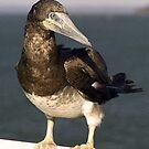 Brown Booby Bird - Hervey Bay, Queensland by Bev Pascoe