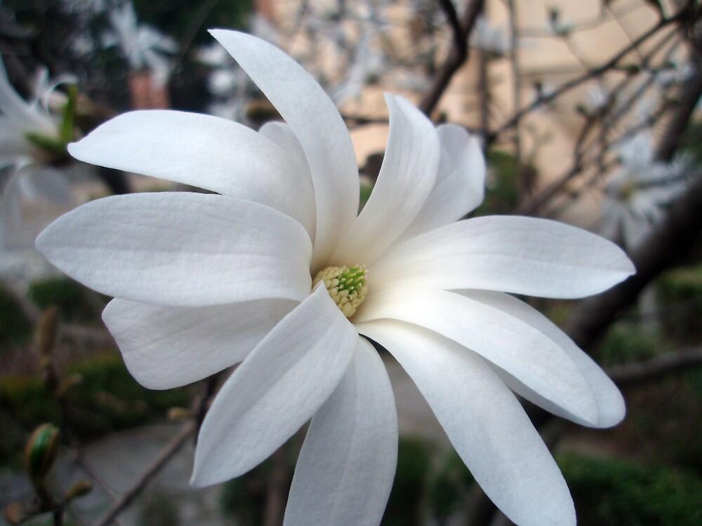 White star magnolia by presbi