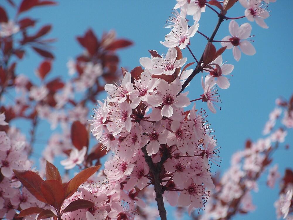 japanise cherry blooms by presbi