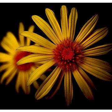 Daisy by greigsy