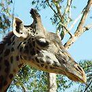 Giraffe Closeup by Lauren Glover