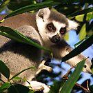 Ring-tailed Lemur by Amanda White