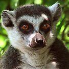 Ring-tailed Lemur Portrait 1 by Amanda White
