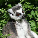 Ring-tailed Lemur 2 by Amanda White
