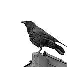 American Crow by Buckwhite