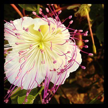 Cyprus Caper flower by AngieRocksArt