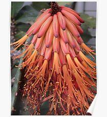Bitter Aloe Poster