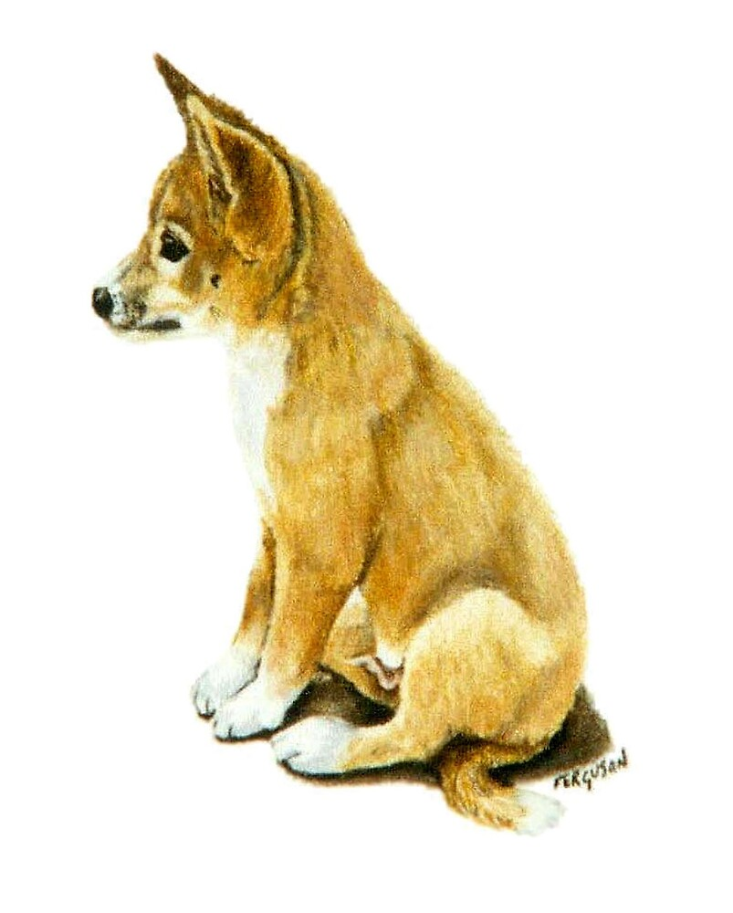 Dingo pup by Judy Ferguson