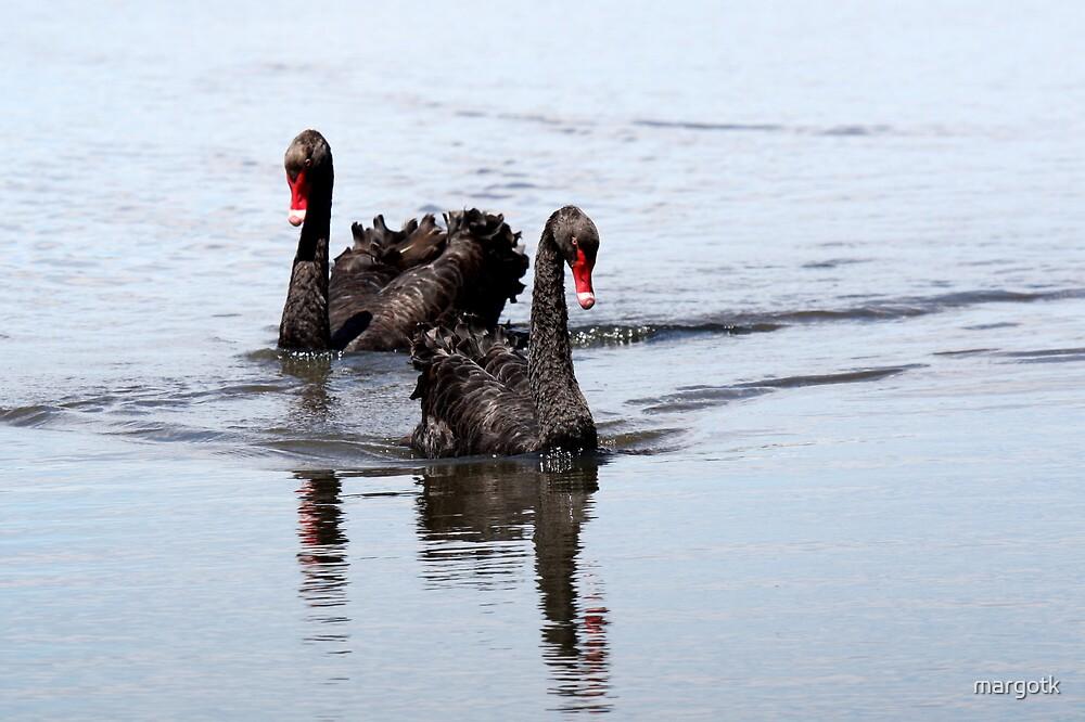 Black Swans by margotk