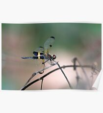 Yellow-striped Flutterer Dragonfly Poster