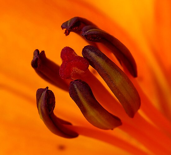 Orange Stamen by Trevor Kersley