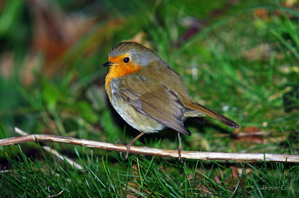 Robin by Dave  Cox