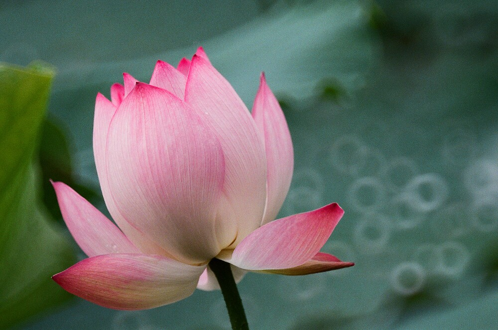 Lotus by MelloAlice