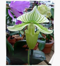 Lady Slipper Orchid  - a hybrid with green stripes! Poster