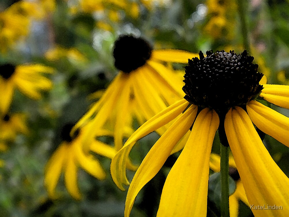 Black-eyed Susan with water color effects by KateLinden