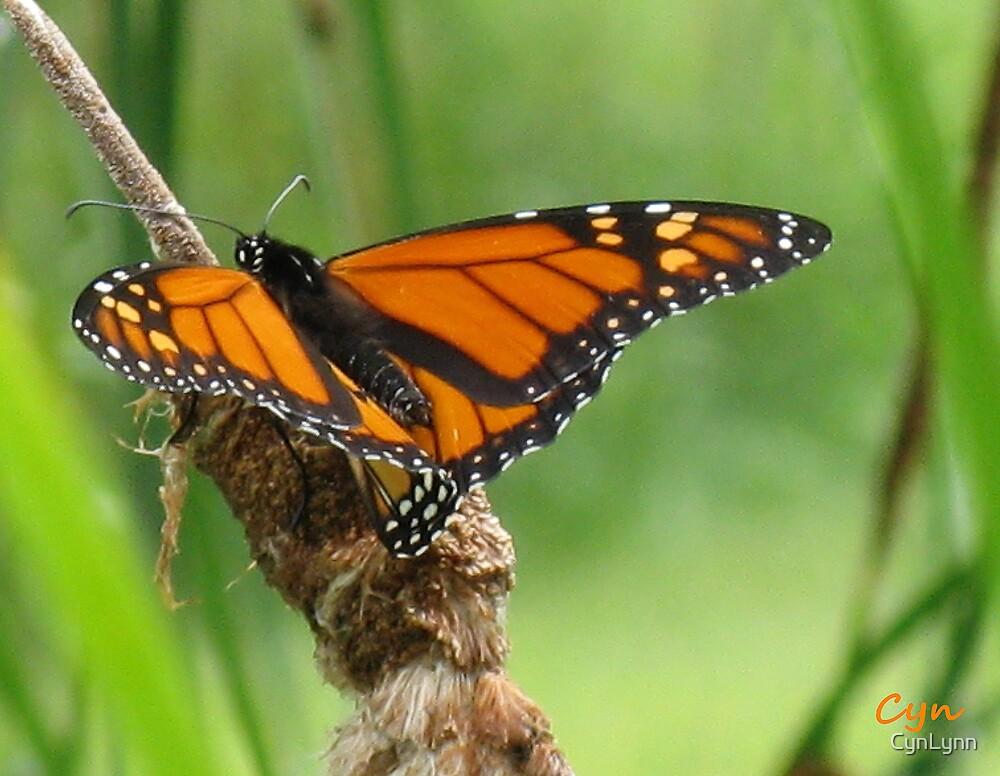 Monarch by CynLynn