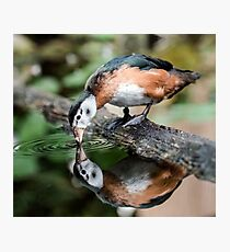 African Pygmy Goose Photographic Print