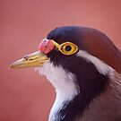 Banded Lapwing, Northern Territory, Australia by Adrian Paul