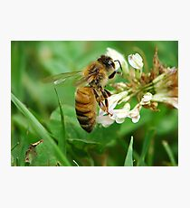 Honey Bee Feast of the Clover Photographic Print