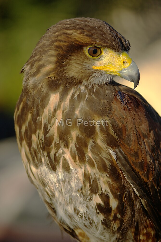 Harris Hawk by M G  Pettett