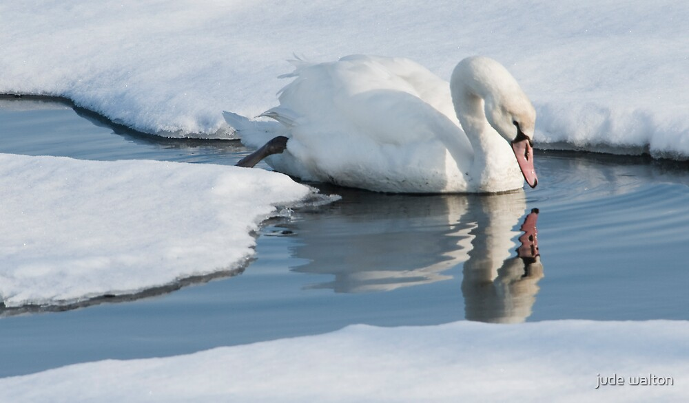 christmas day swan by jude walton