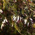 Australian Wild Flowers #22 by Paul Gilbert