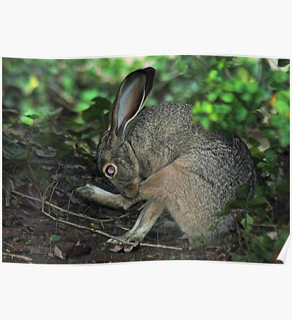 Weedy Field's New Baby Jackrabbit! Poster