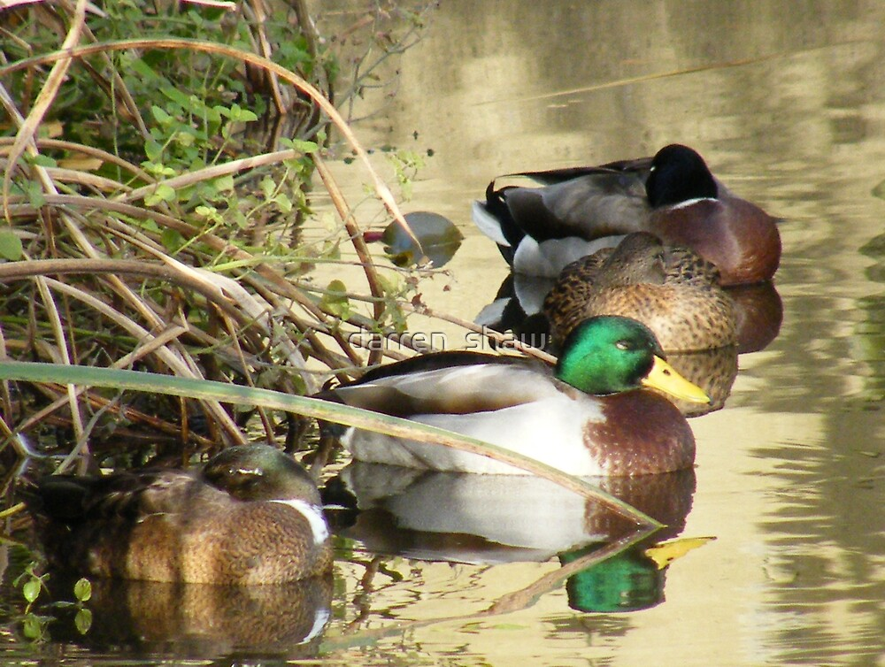 ducks bed time by darren  shaw