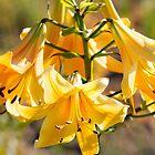 A Golden Splendour by Marilyn Cornwell
