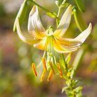 Lilycrest Hybrid by Marilyn Cornwell