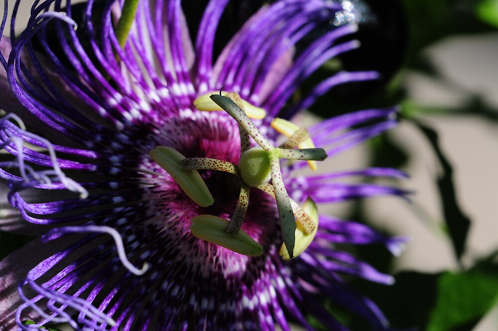 Passion Flower Blossom by Golden Richard