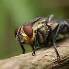 Flesh fly by Andrew Trevor-Jones