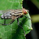 Flesh fly by Andrew Trevor-Jones