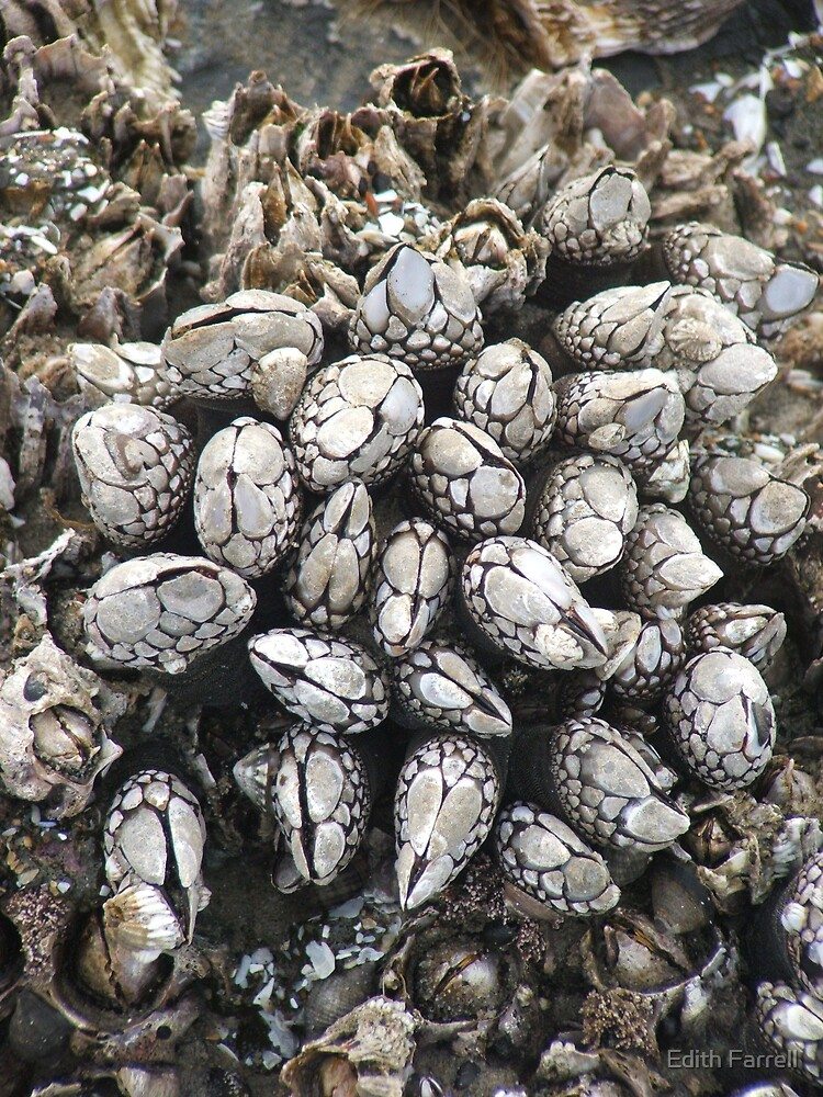 Mussels by Edith Farrell