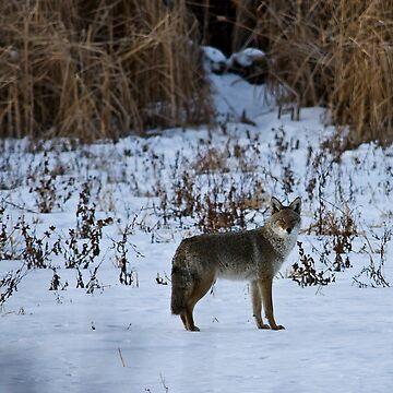 The Coyote Project, Act II, Scene ii by jayryser