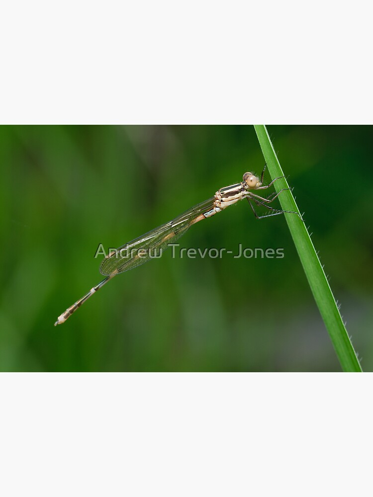 Damselfly by andrewtj